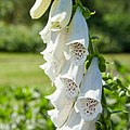 Digitalis purpurea alba-IMG 0901.jpg