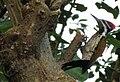 Dinopium benghalense.jpg