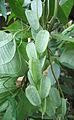 Dioscorea hispida1.jpg