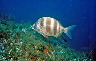 <i>Diplodus cervinus</i> Species of fish