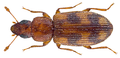 Diplotoma fairmairei Grouvelle (30168957805).png