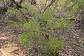 Dodonaea viscosa (32482057702).jpg