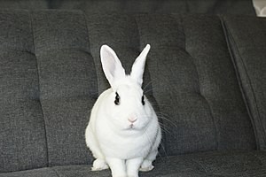 Domestic rabbit - Hotot Rabbit