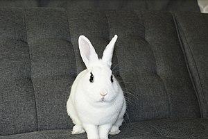 Domestic rabbit - Hotot Rabbit