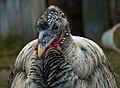 Domesticated turkeys.jpg
