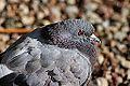 Dove (10119408035).jpg