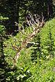 Downed tree - Paradise, Mount Rainier, August 2014 - 01.jpg
