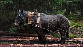 Draft horse pulling logs in Parc naturel Hautes Fagnes, Eupen, Belgium (VeloTour 54 to 55, DSCF3703).jpg