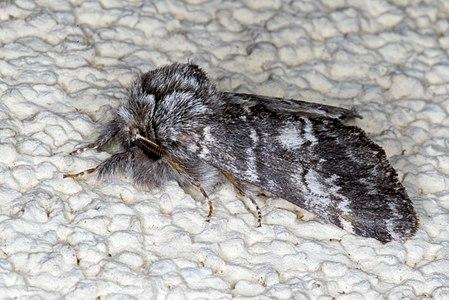 Drymonia ruficornis 03(js), Lodz (Poland).jpg