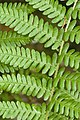 Dryopteris filix-mas eu 76 14062008 1.jpg