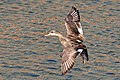 Duck Landing (192634913).jpeg