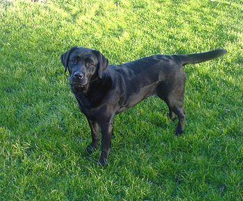 English: A black labrador of 2 years. Nederlan...