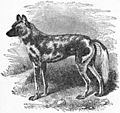 EB1911 Carnivora Fig. 5 - The African Hunting-Dog.jpg