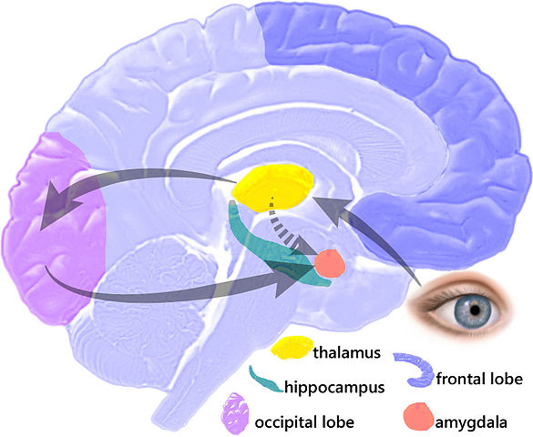 Amygdala Hijacking image of the brain