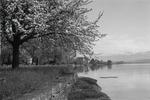 ETH-BIB-Baum an Seeufer-Inlandflüge-LBS MH05-82-02.tif