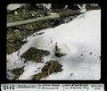 ETH-BIB-Soldanellen im Schneerand, oberhalb Braunwald-Dia 247-02115.tif
