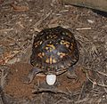 Eastern Box Turtle 8675.jpg
