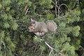 Eastern Gray Squirrel (Sciurus carolinensis) - Kitchener, Ontario 2019-07-26.jpg
