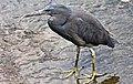Eastern Reef Egret in Humpbybong Creek-05 (6108076422).jpg
