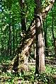Eastren Sycamore - panoramio.jpg