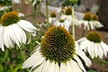 Echinacea purpurea 'White Swan' flower closeup.jpg