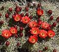 Echinocereus triglochidiatus 18.jpg