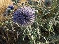 Echinops ritro (7705650536).jpg