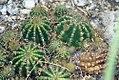 Echinopsis calochlora 0zz.jpg