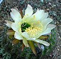 Echinopsis mamillosa 3.jpg