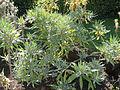 Echium webbii - Botanischer Garten, Frankfurt am Main - DSC02368.JPG