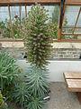 Echium wildpretii (Boraginaceae) plant.JPG