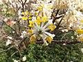 Edgeworthia chrysantha Monza 02.jpg