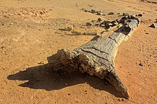 Petrified trees dating