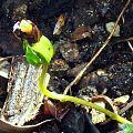 Elaeocarpus eumundii seedling.jpg