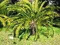 Encephalartos longifolius02.jpg