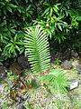 Encephalartos sclavoi furnas 2015.jpg