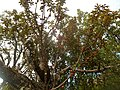 Englerophytum magalismontanum, habitus, Elandsfontein, b.jpg