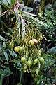 Epidendrum frutex fruits.jpg