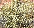 Eriogonum heermannii var sulcatum 4.jpg