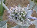 Eryngium maritimum Enfoque 2010-7-04 LagunadelaMata.jpg