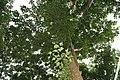 Erythrina poeppigiana 12zz.jpg