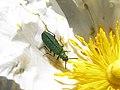 Escarabajo florícola - Psilothrix (17954465156).jpg