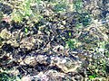 Espèces aquatiques à Ras R'mal.jpg