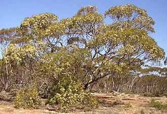 Eucalyptus oleosa - Eucalyptus oleosa habit