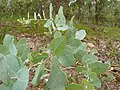 Eucalyptus bridgesiana (5449448932).jpg