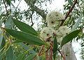 Eucalyptus coccifera flowers — Wendy Cutler 001.jpg