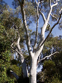 Eucalyptus mannifera 02