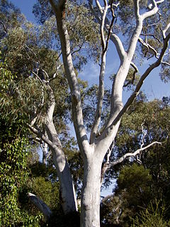 <i>Eucalyptus mannifera</i> Species of eucalyptus