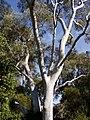 Eucalyptus mannifera 02.jpg