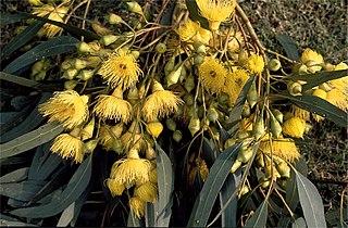 <i>Eucalyptus petiolaris</i> Species of plant